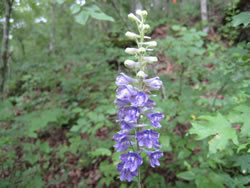 Tall larkspur in bloom.